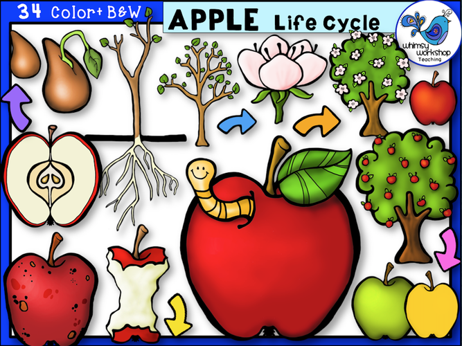 Life Cycle - Apple