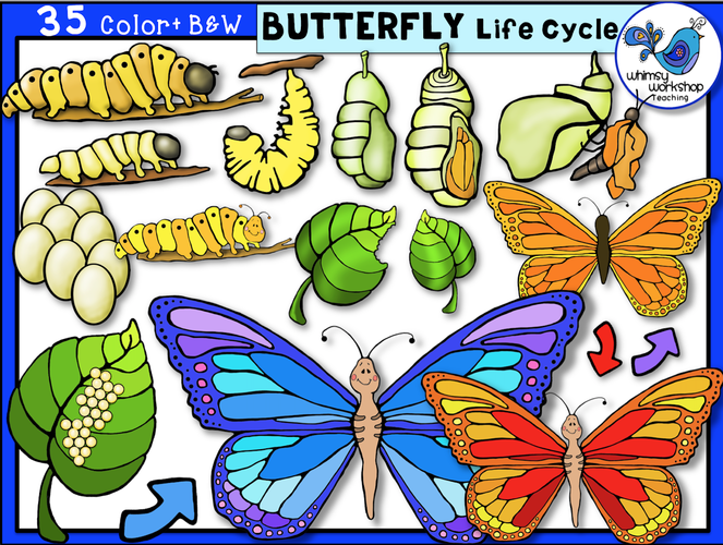Life Cycle - Butterfly