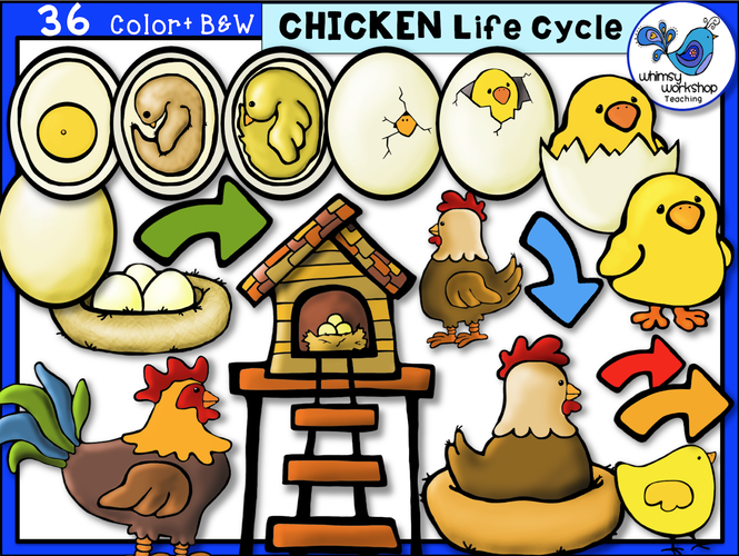 Life Cycle - Chicken