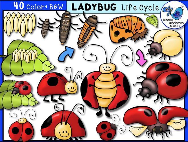 Life Cycle - Ladybug