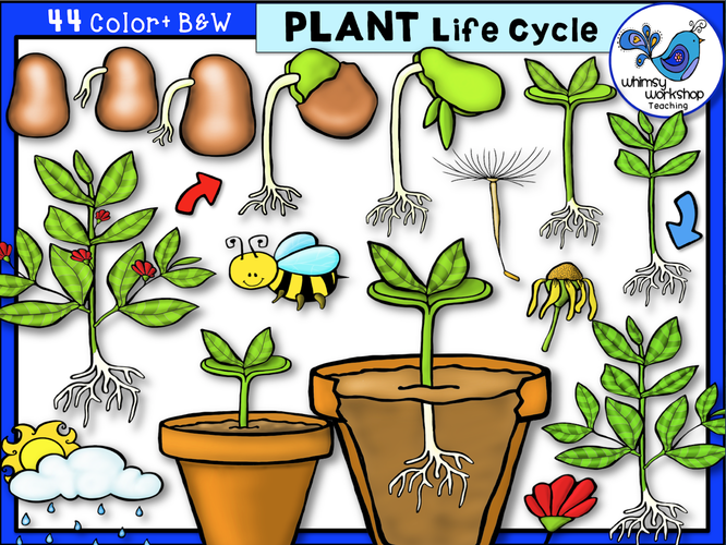 Life Cycle - Plant