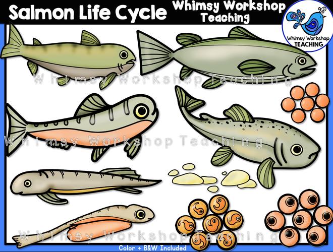 Life Cycle - Salmon