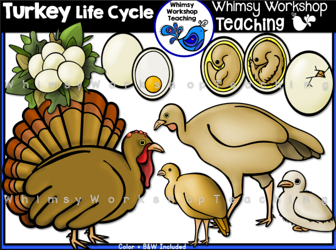 Life Cycle - Turkey