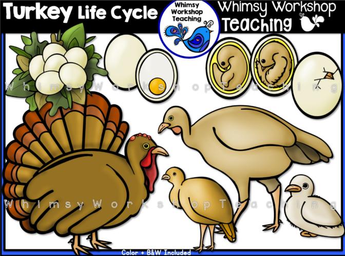 Life Cycle - Turkey
